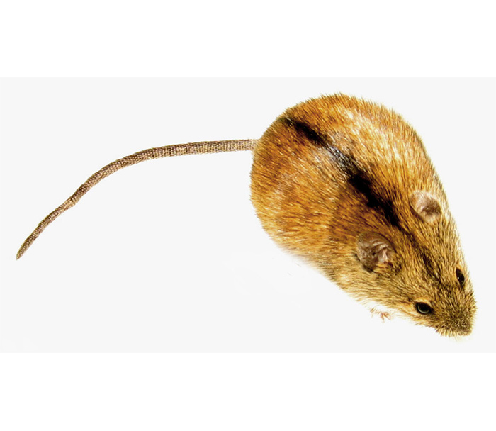 mysz-polna