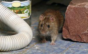 n1deratyzacja 300x186 - Szczur Deratyzacja