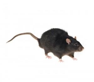 szczur sniady 300x261 - szczur-sniady