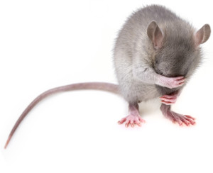 Zwalczanie szczurów – deratyzacja!