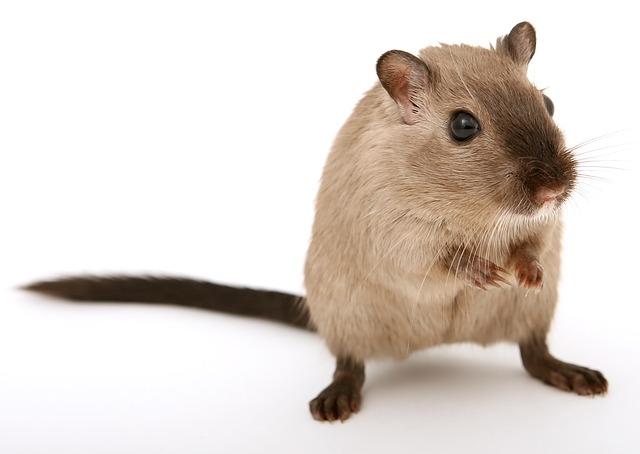 mysz szkodnik