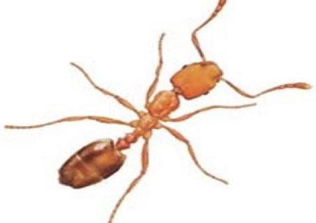 Mrówki faraona