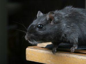 Mysz - szkodnik zwalczany przy pomocy biologa terenowego