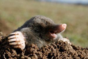 111 300x200 - black mole hungry