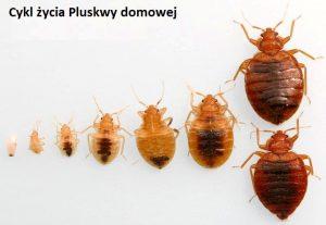 pluskwa cykl zycia 300x207 - Porady